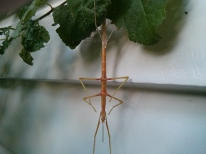 Stick insect shedding skin