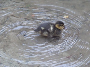 The sole survivor of presumably a brood of ducklings.