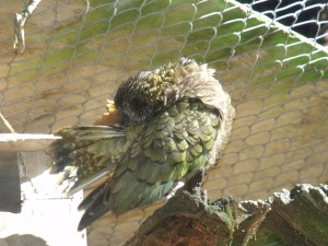 Kea, too busy tending the plumage to chat.