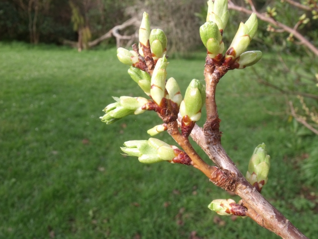 Bursting buds