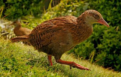 This is Weka